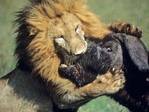 buffalo-lion-1